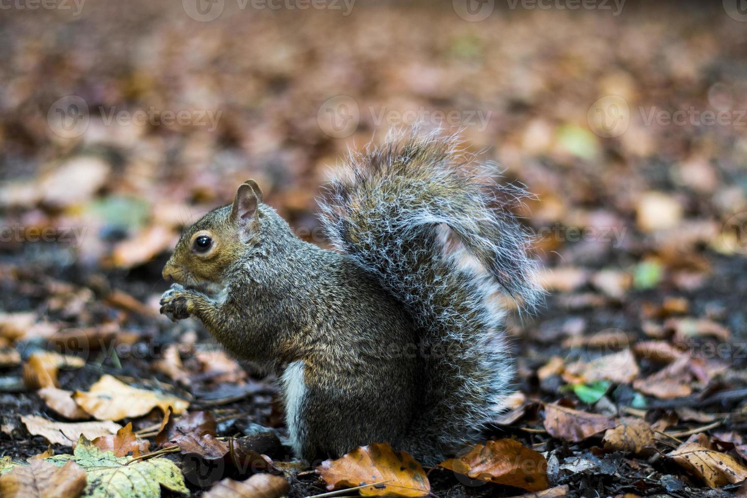 esquilo de outono foto