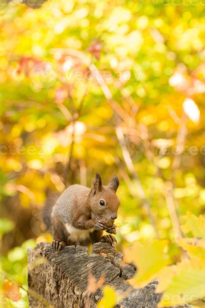esquilo de hokkaido foto