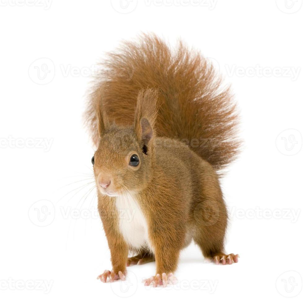 um esquilo vermelho da Eurásia em um fundo branco foto