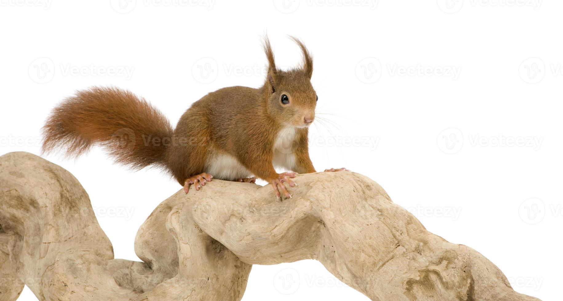 esquilo vermelho euro-asiático - sciurus vulgaris (2 anos) foto