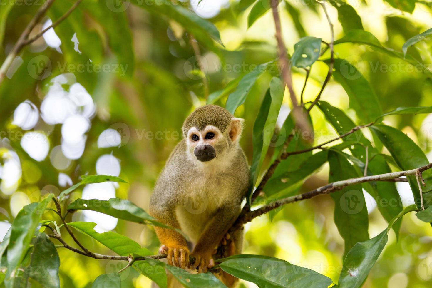 macaco esquilo preto-tampado, sentado em uma árvore foto