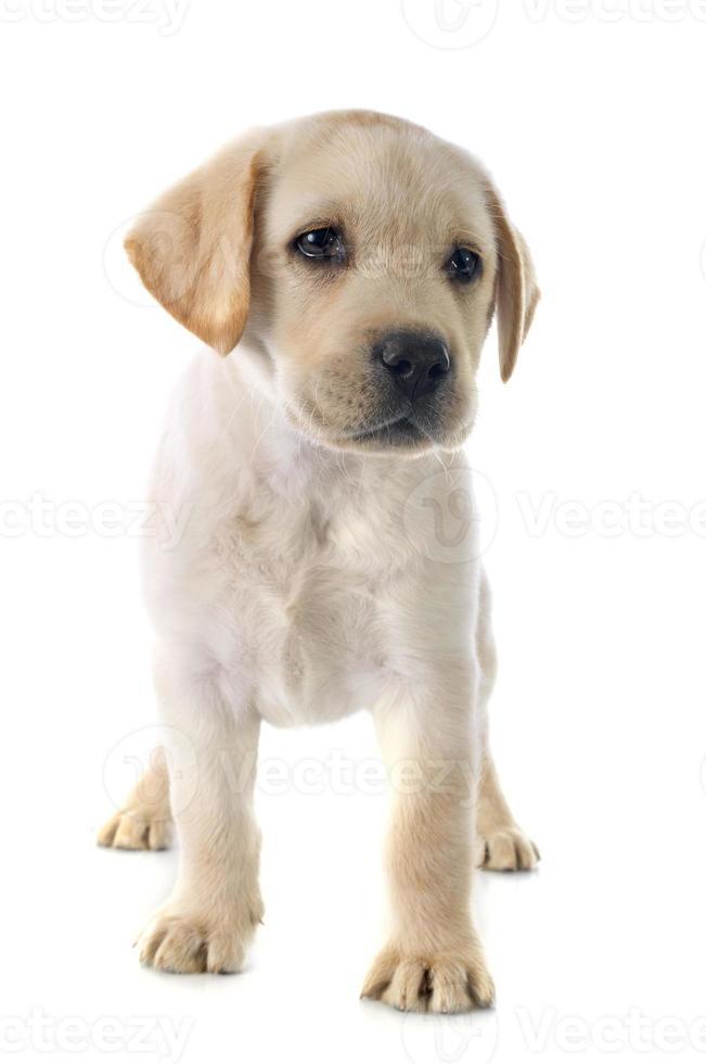 filhote de cachorro labrador retriever foto