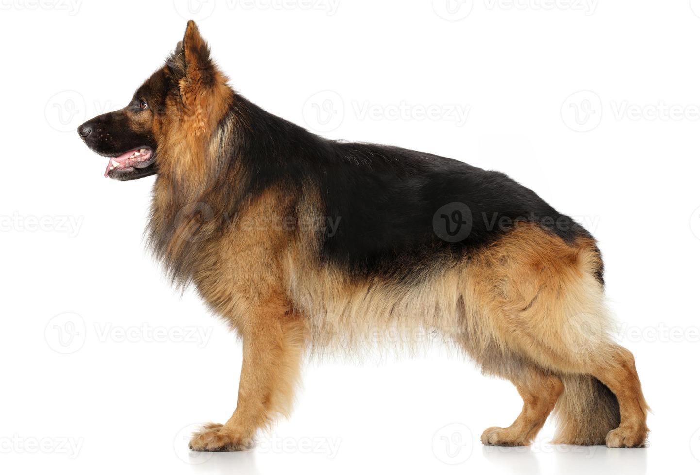 cão pastor alemão em stand foto