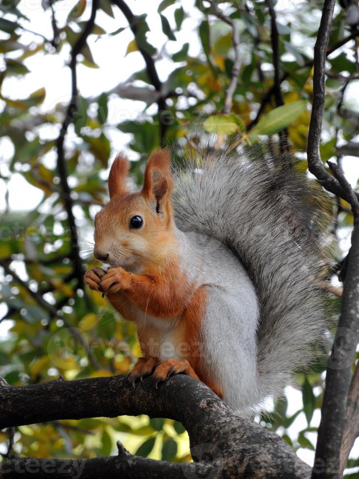esquilo vermelho comendo na árvore foto