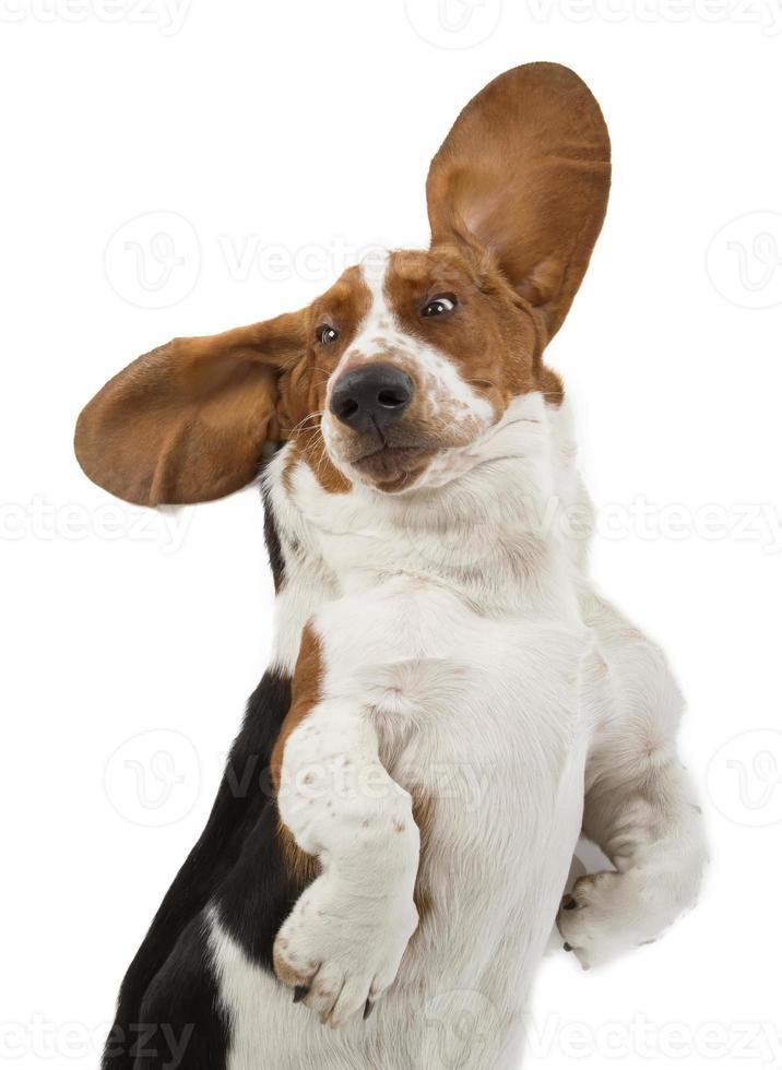 basset hound foto