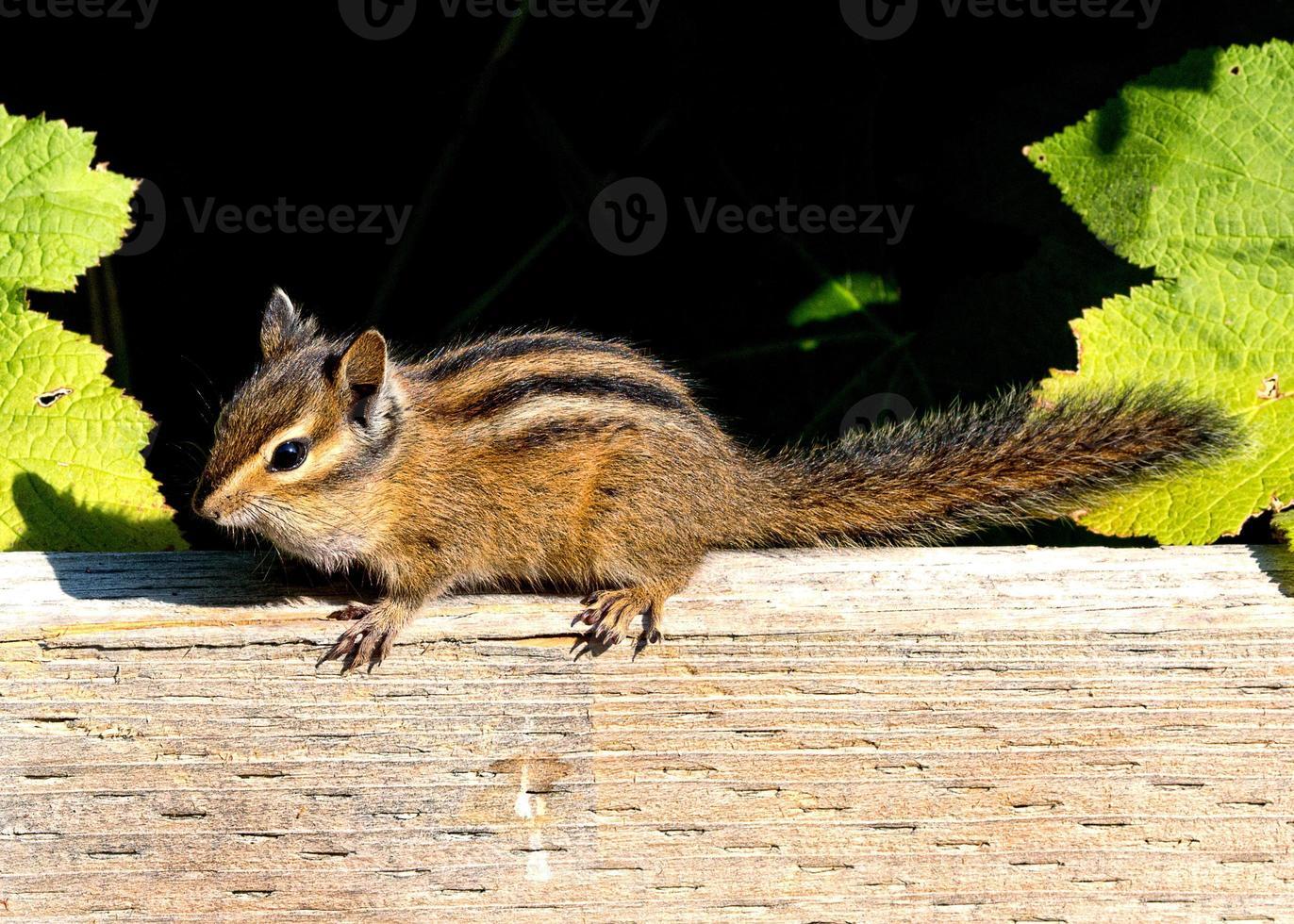 Chippie o esquilo foto