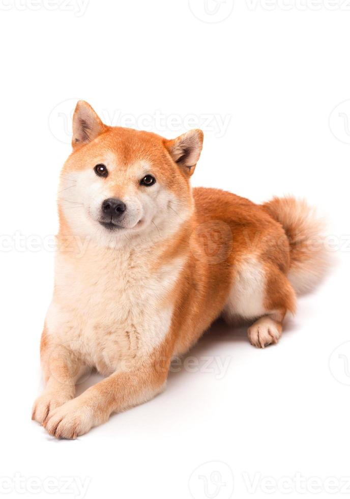 shiba inu senta-se sobre um fundo branco foto
