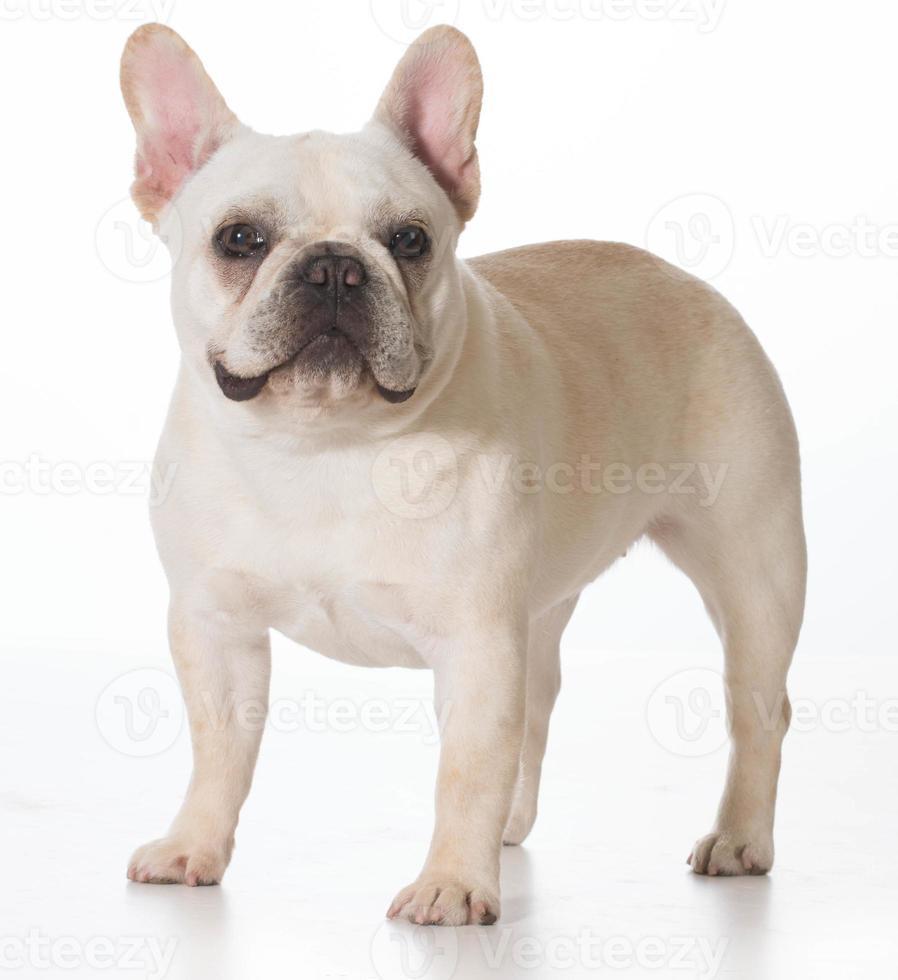 Bulldog francês foto
