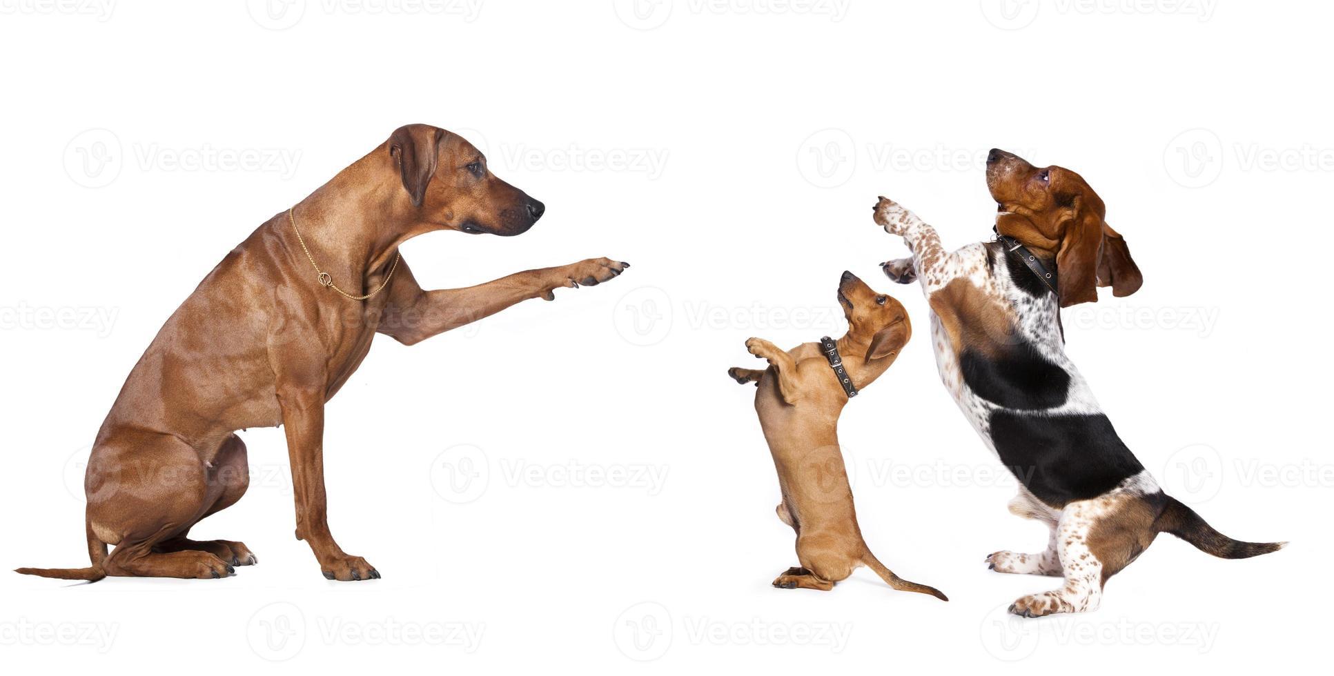 cão grande cães pequenos comandos foto