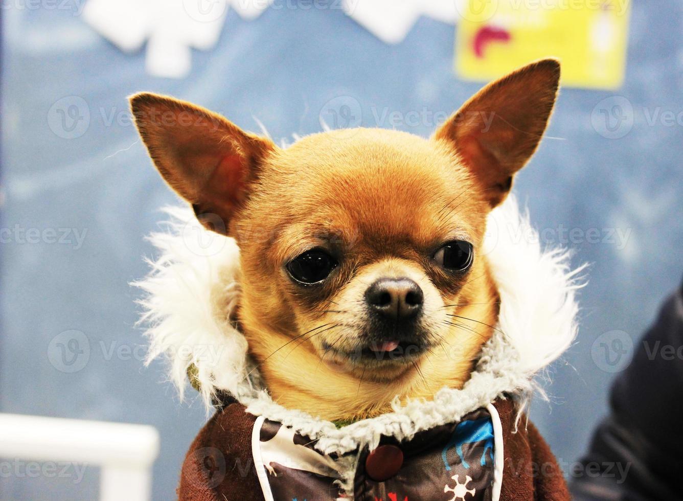 cão pequeno bonito foto