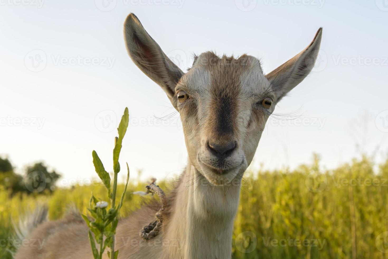 cabra na grama foto
