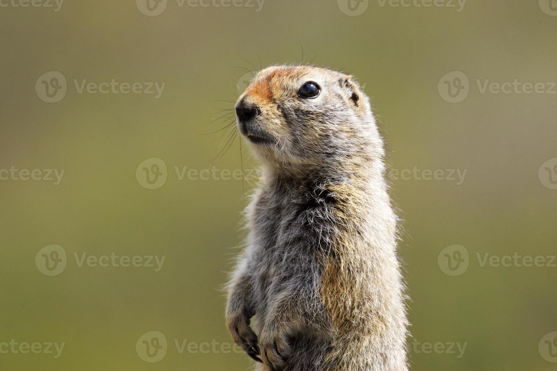 esquilo à terra ártico foto