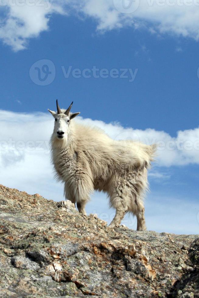 cabra da montanha no ponto mais alto das colinas negras foto