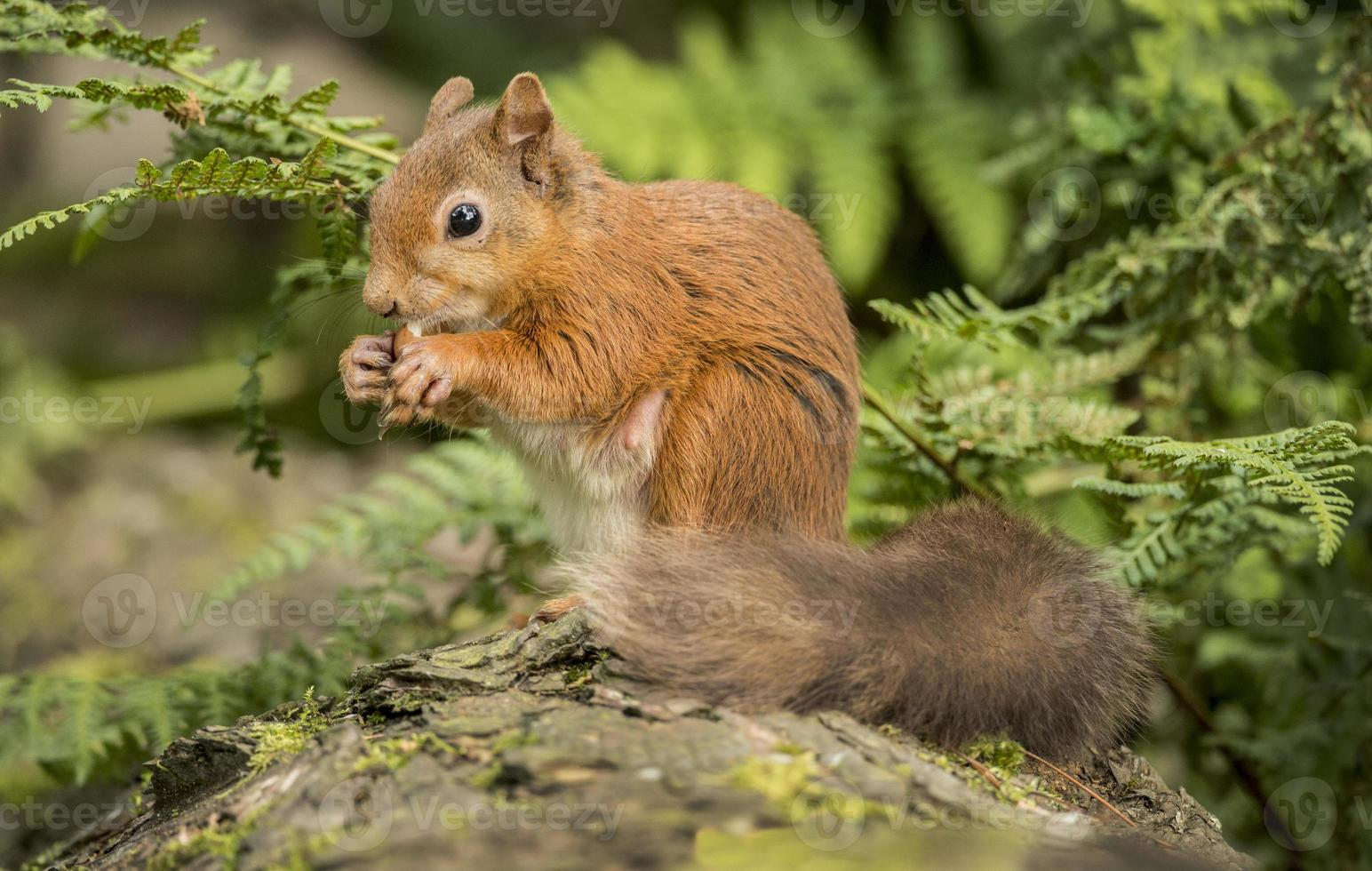 esquilo vermelho, sciurus vulgar, sentado em um tronco de árvore foto