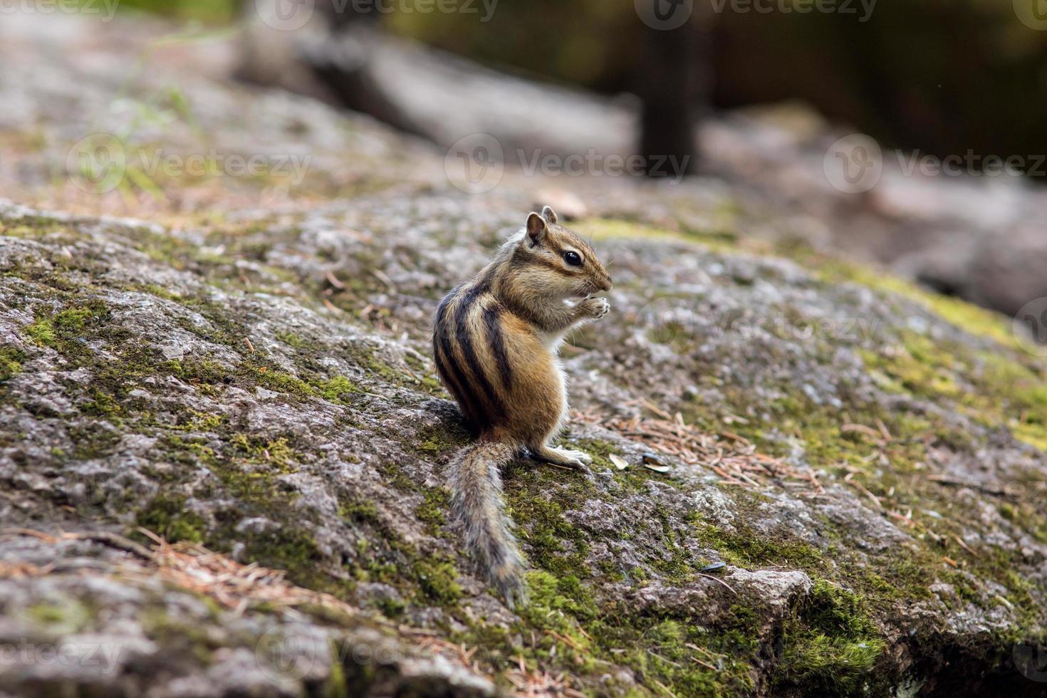 esquilo comendo comida da palma de um ser humano foto