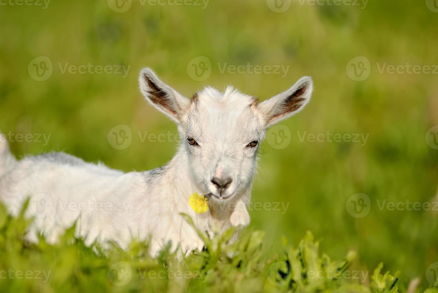 babá ela cabra, criança com flor na boca foto