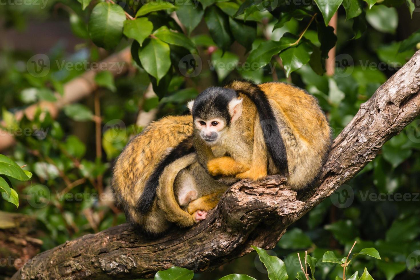 macacos esquilo descansando no galho de árvore foto
