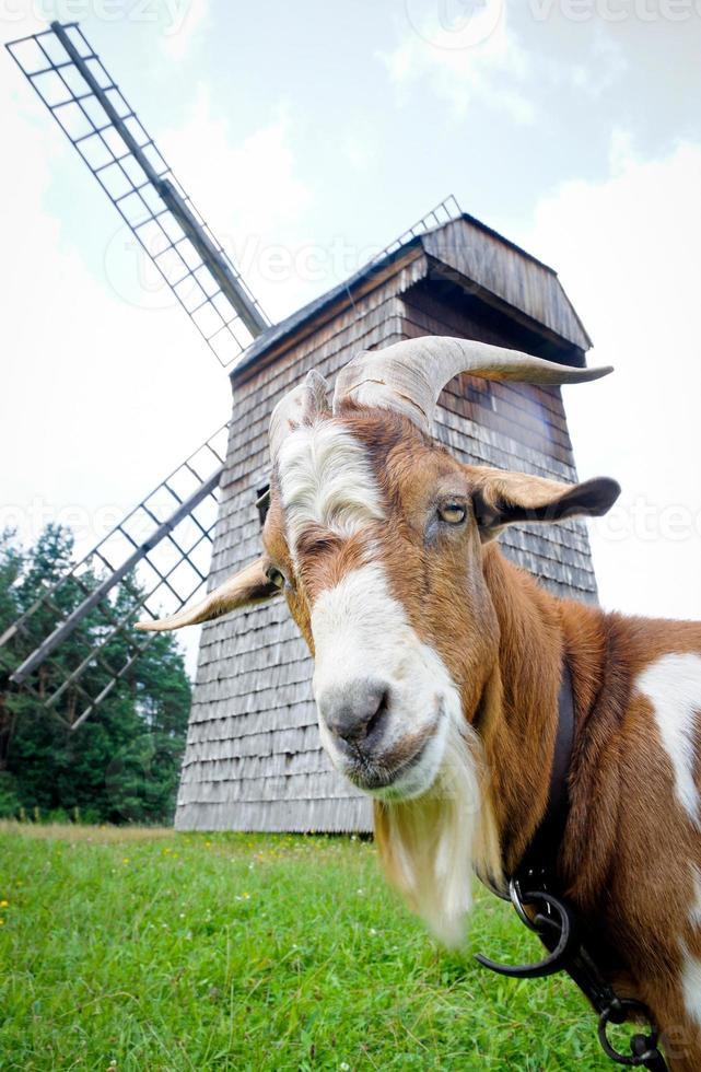 cabra e moinho de vento foto