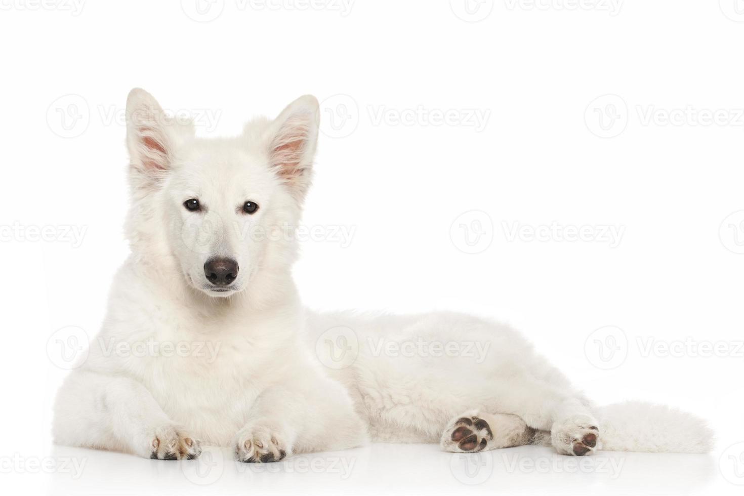 cão pastor suíço deitado foto
