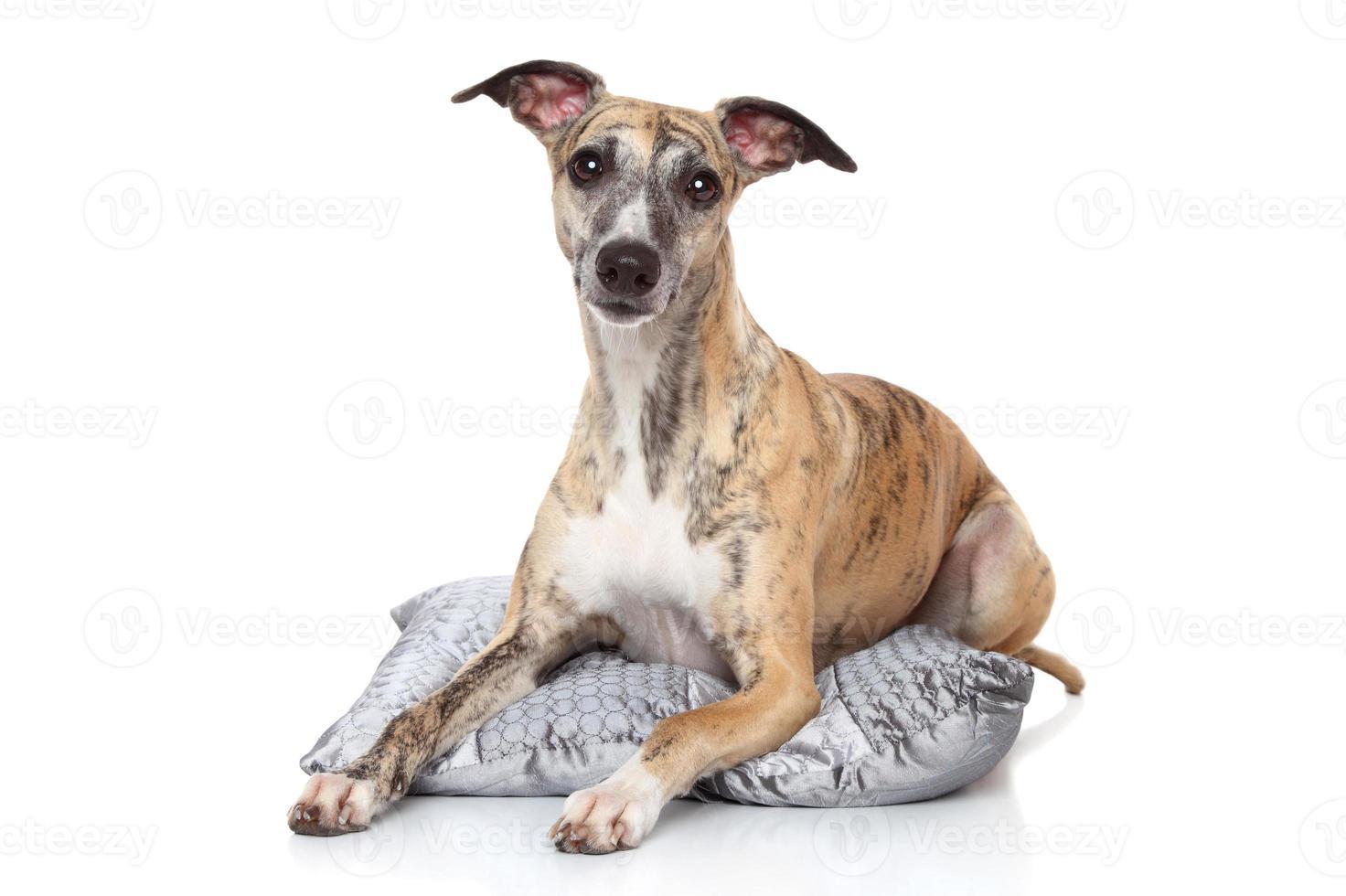 cão whippet deitado no travesseiro foto