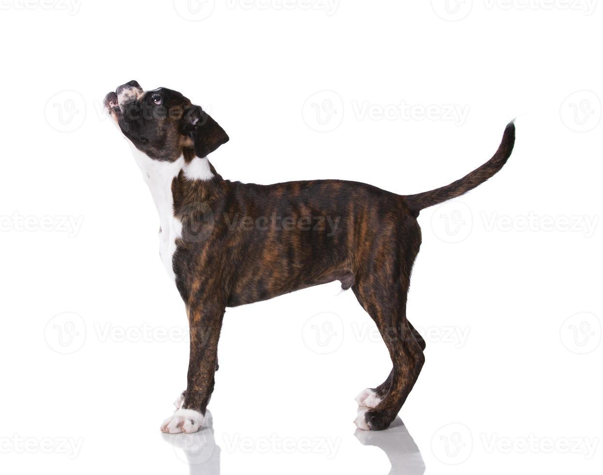 cão boxer no estúdio foto