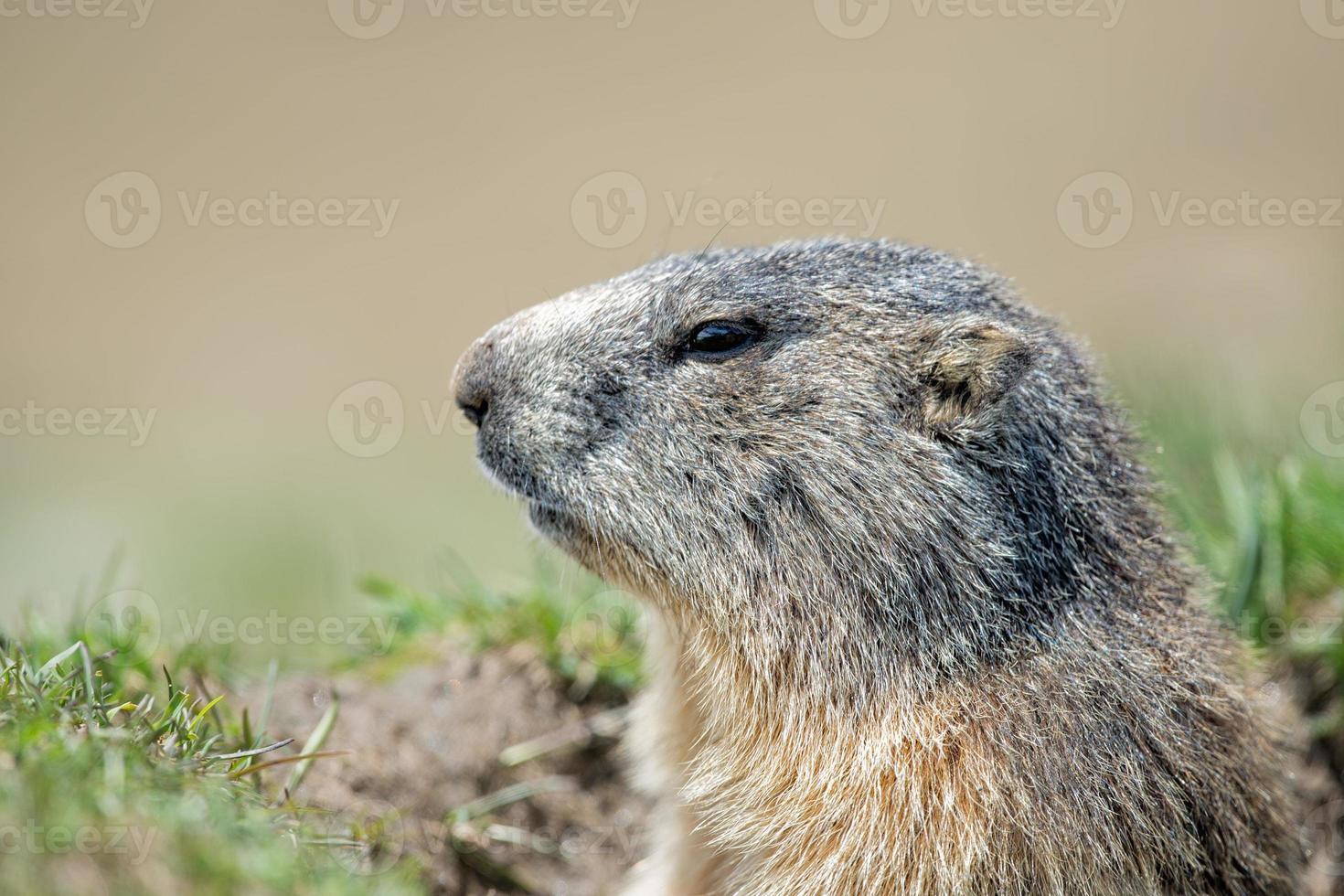 retrato de marmota de porco à terra enquanto olha para você foto