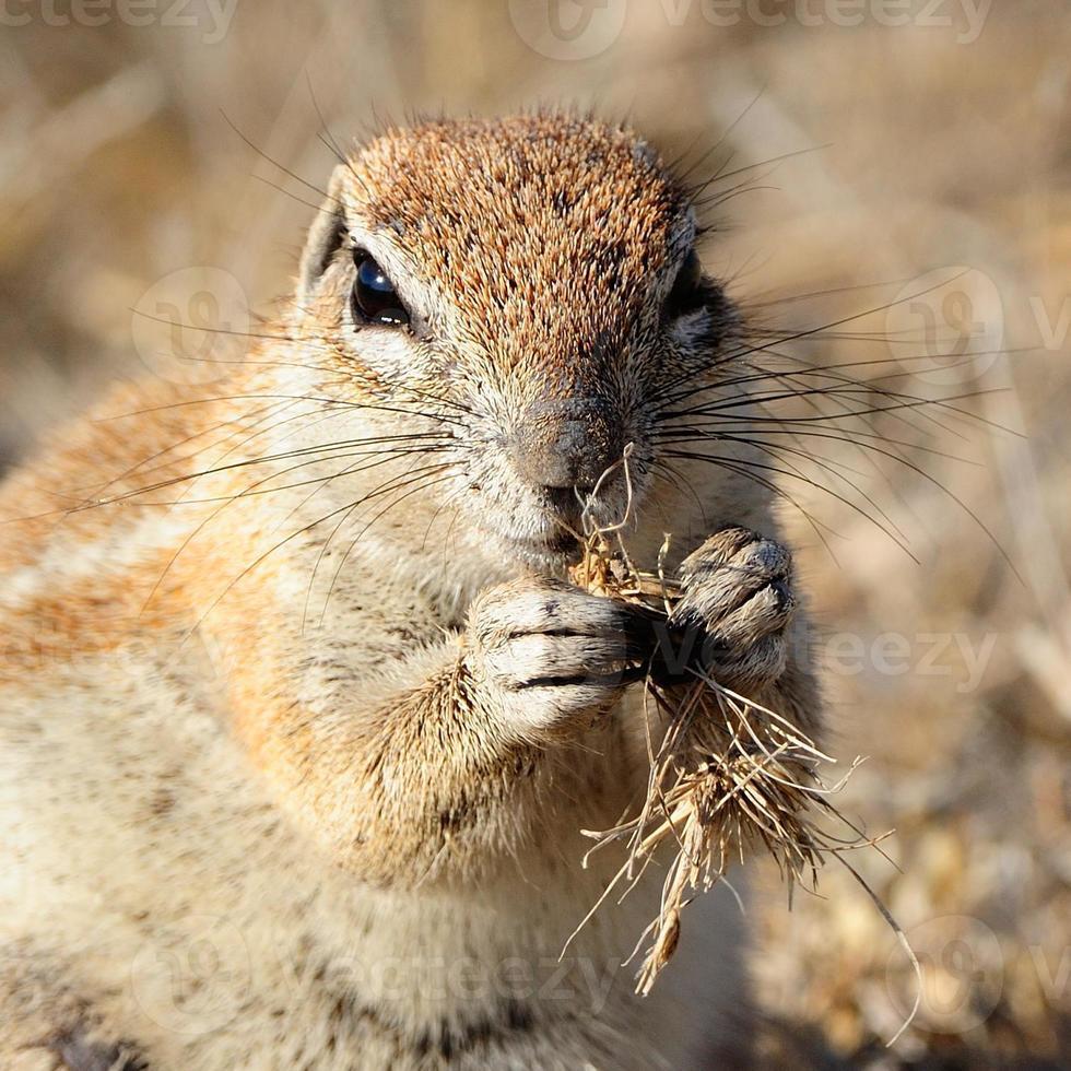 esquilo à terra foto