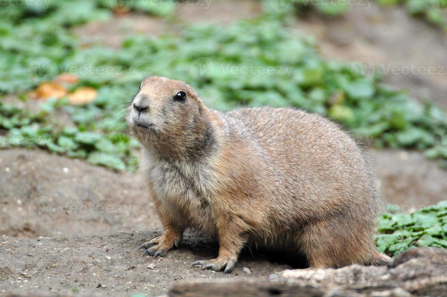 esquilo à terra europeu - spermophilus citellus foto