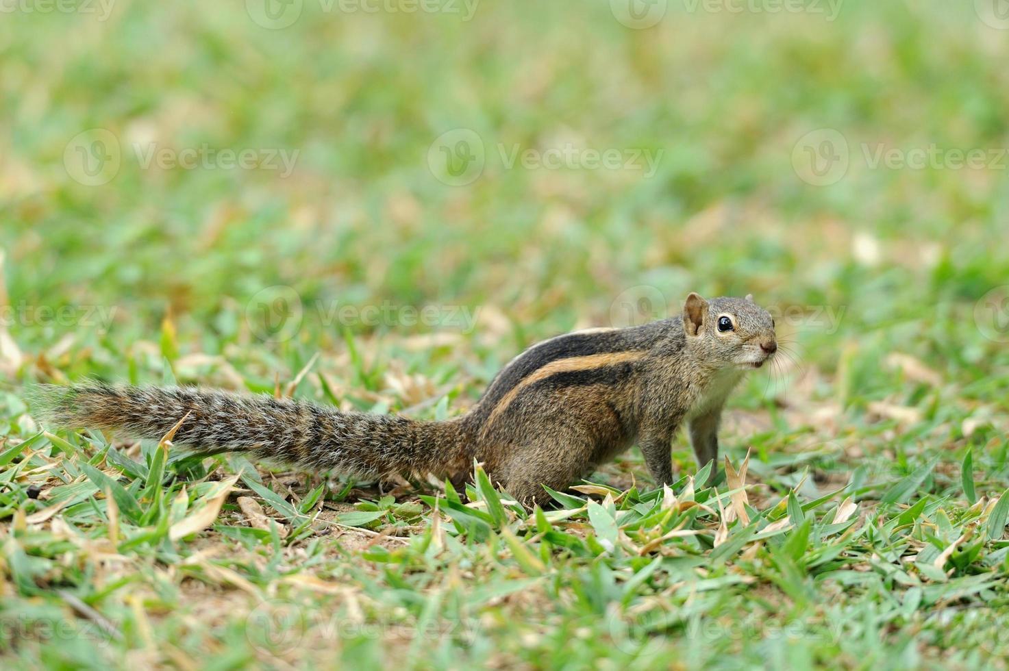 esquilo selvagem foto