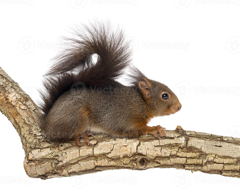 esquilo vermelho, sciurus vulgaris, escalada foto