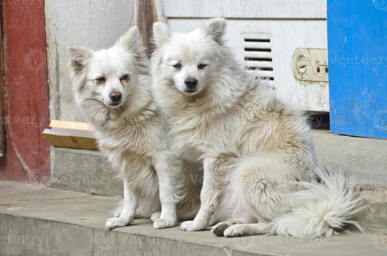 dois lindos cães peludos na rua kathmandu, nepal foto