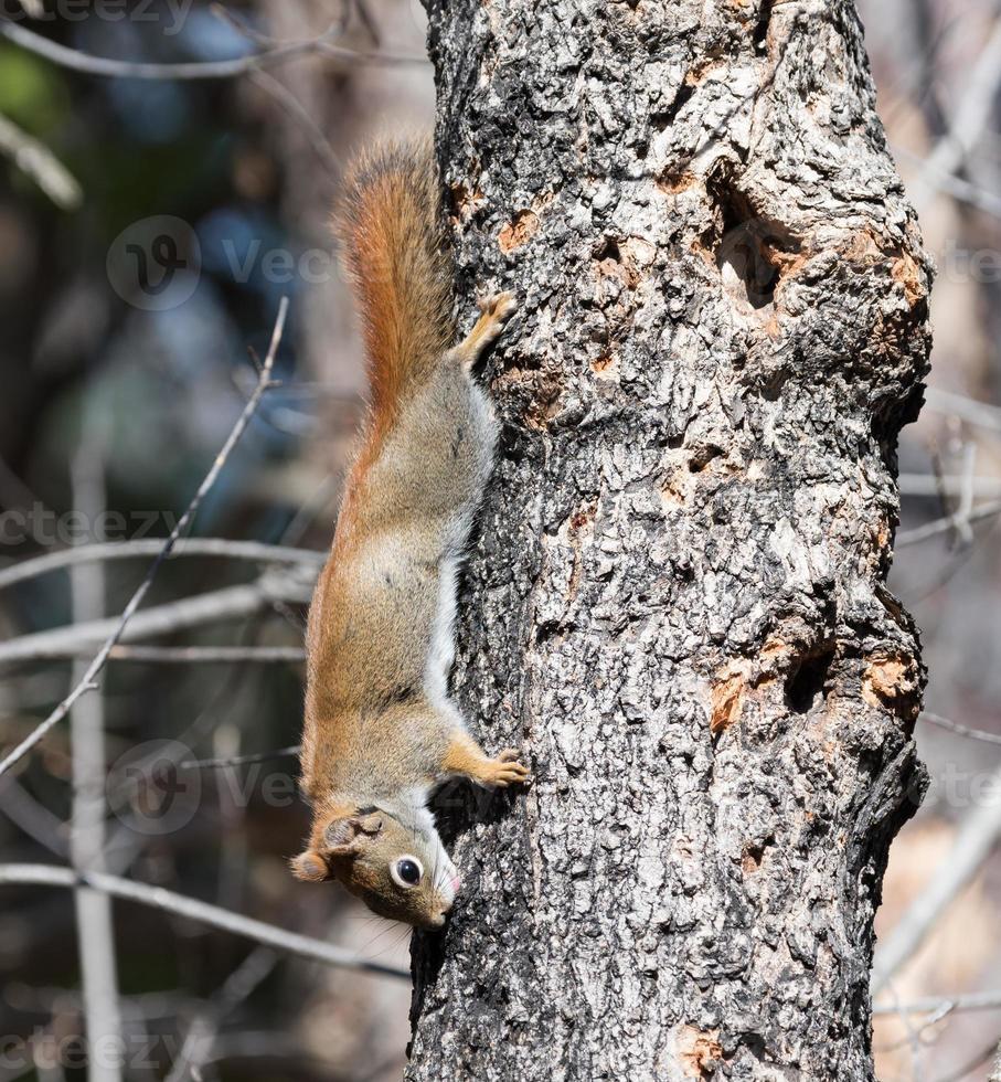 esquilo vermelho vazando seiva na primavera foto