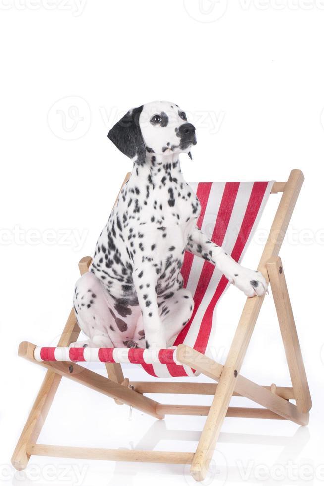 filhote de cachorro dálmata bonito sentado na cadeira de praia foto