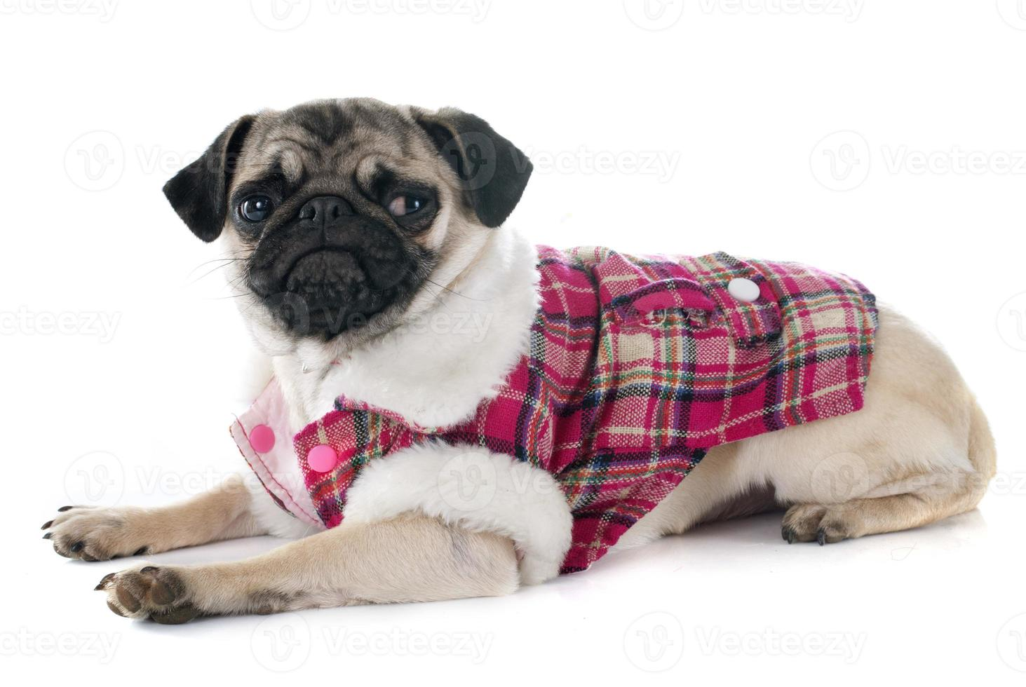pug filhote de cachorro vestido foto