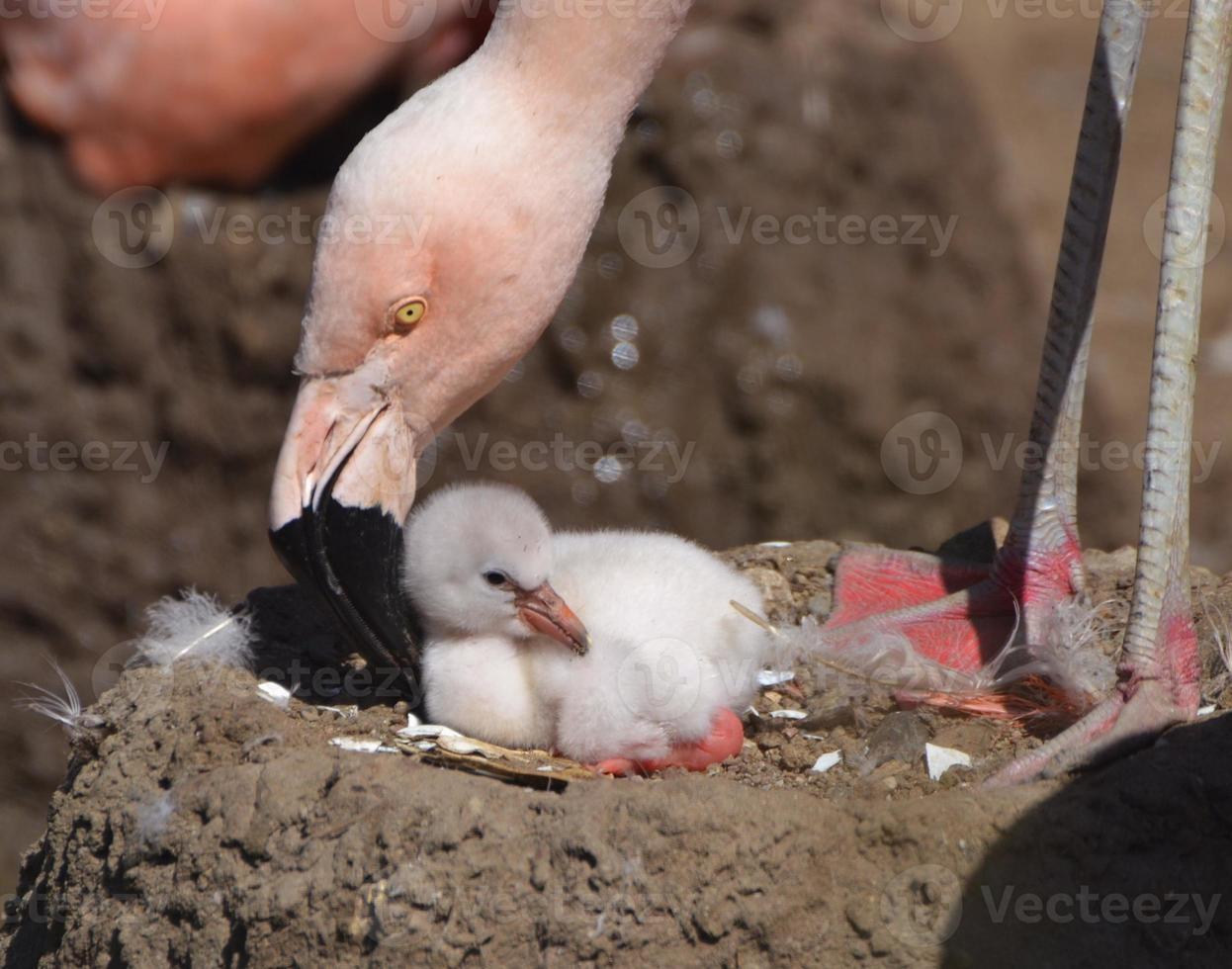 mãe e filhote de flamingo foto