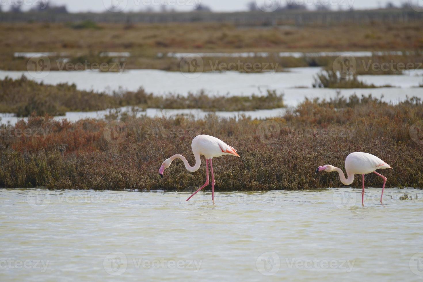 flamingo maior (phoenicopterus roseus), camargue - frança foto