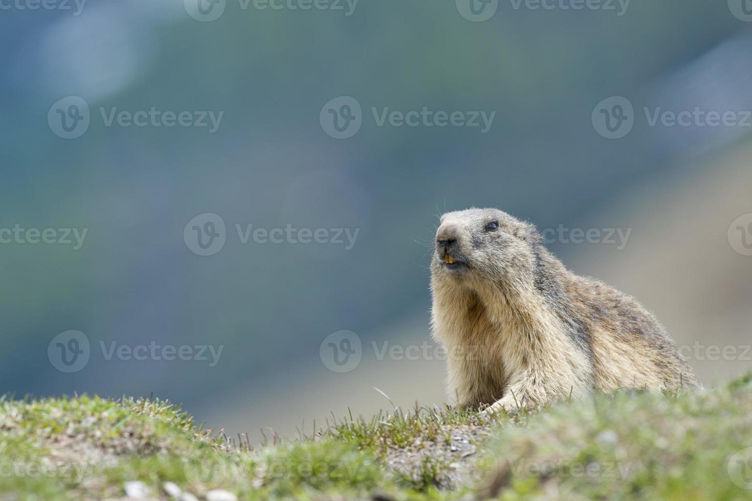retrato de marmota foto