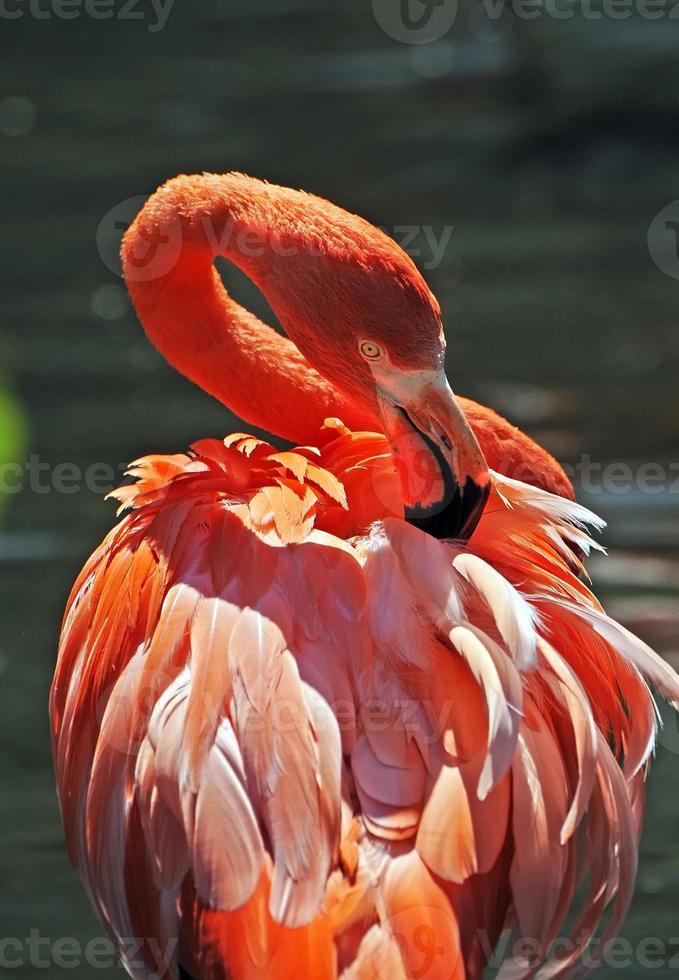 flamingo arrumando suas penas nas costas foto