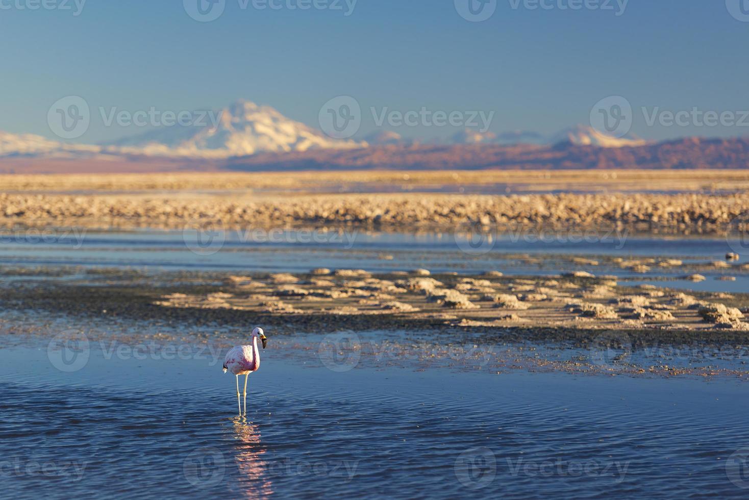 flamingo chileno, deserto de atacama foto