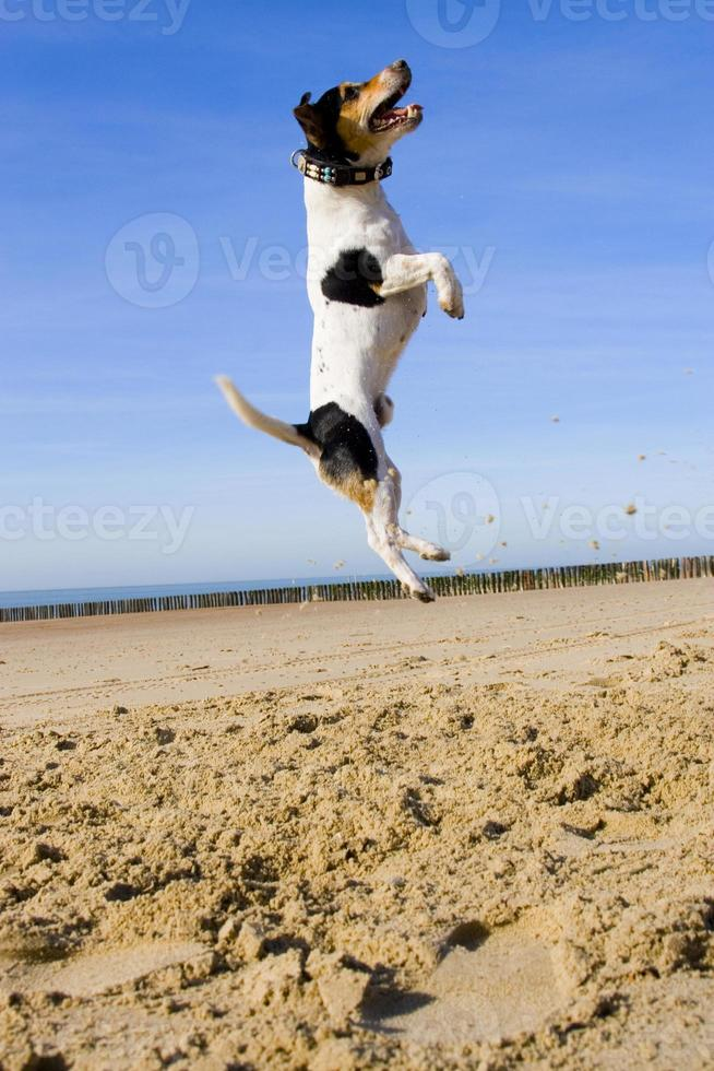 jumping jack russell foto
