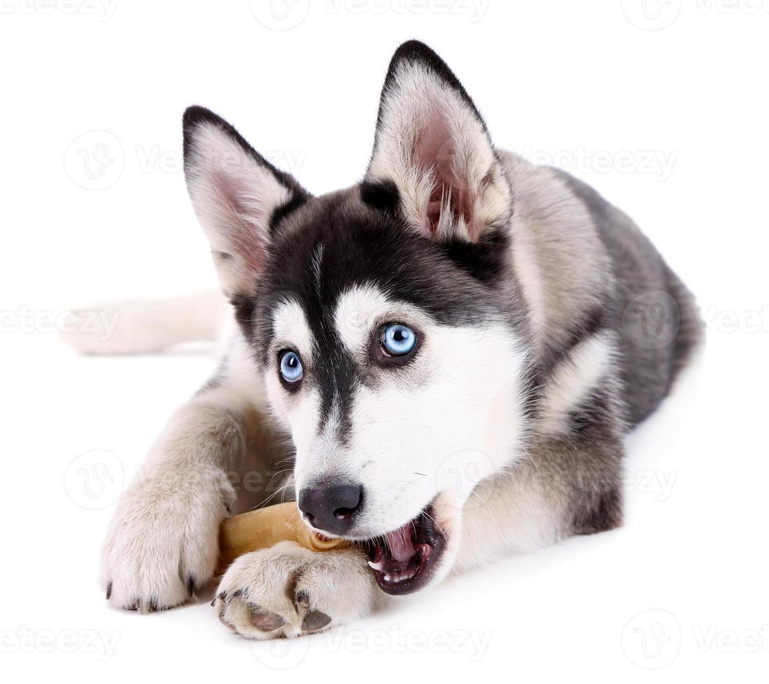 lindo cachorrinho husky fofo, isolado no branco foto