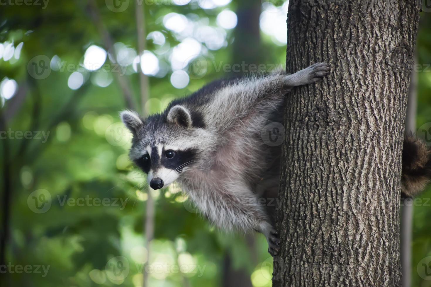 guaxinim em uma árvore foto