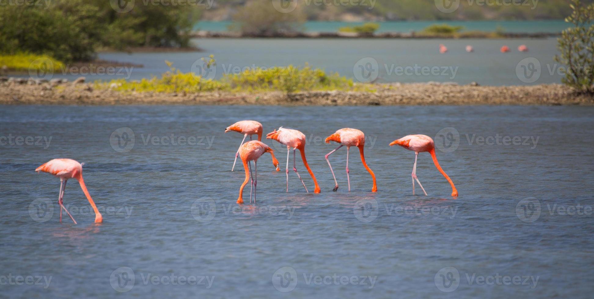 flamingos de curacao foto