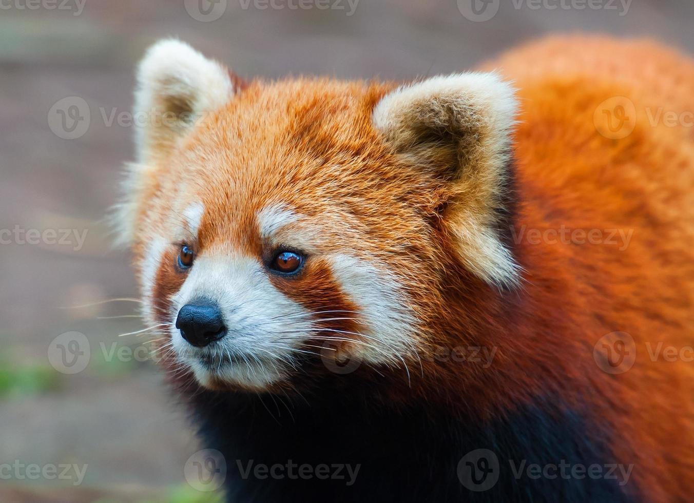 Panda vermelho foto
