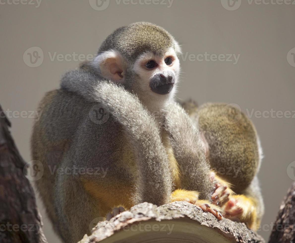 macaco esquilo comum foto