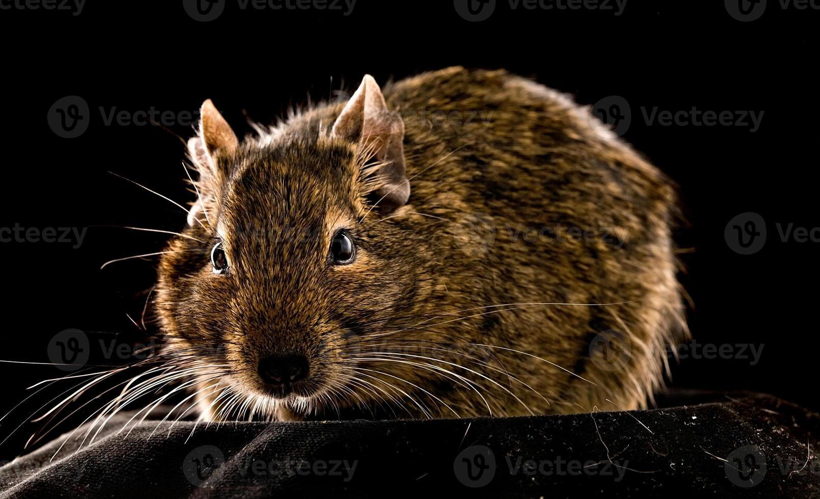pequeno roedor foto