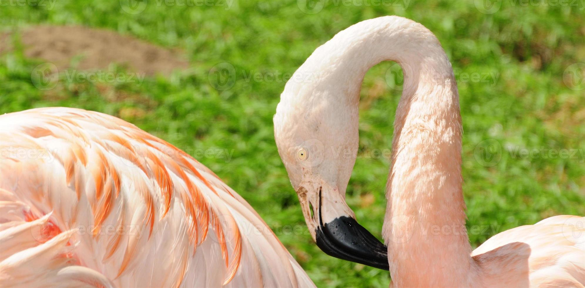 rosa flamant foto