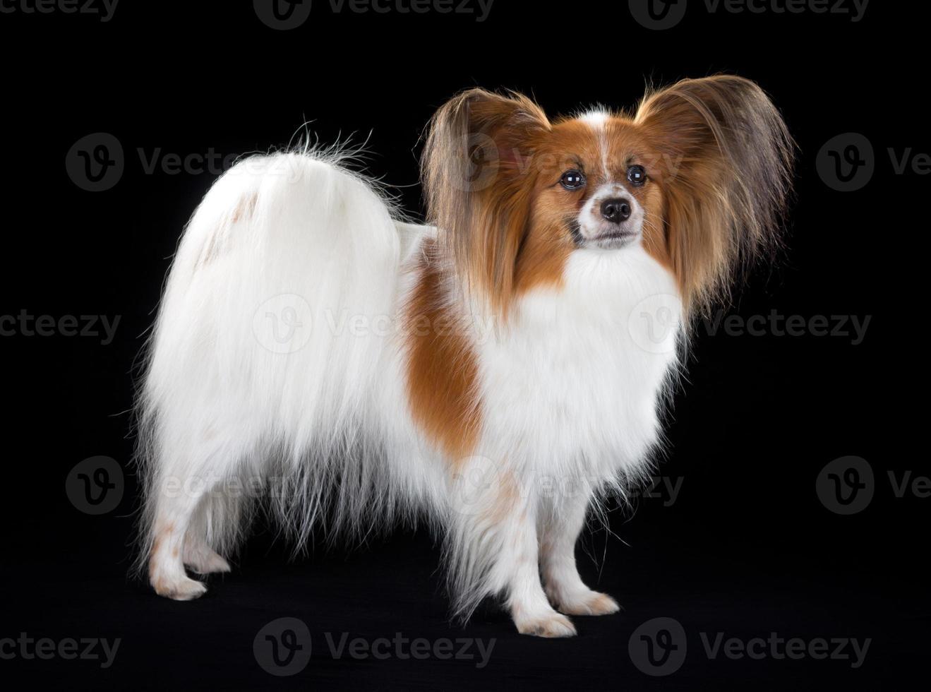 cão papillon foto
