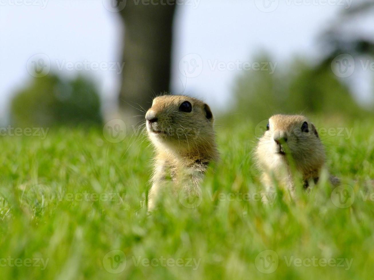 jovens esquilos foto