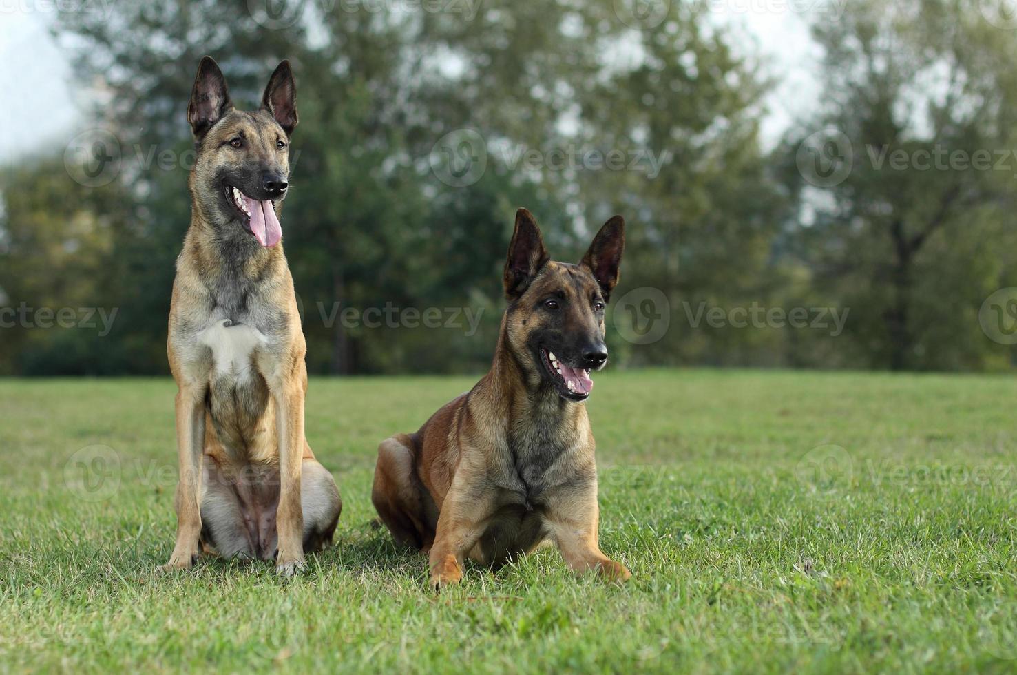 cães pastor de malinois foto